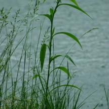 pond-plant