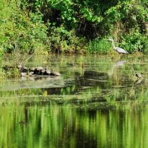 heron&turtles