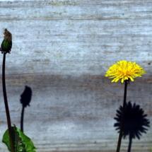 daisy-study1