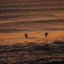 pelican-flight-2
