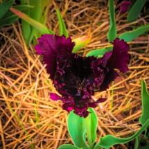 purple-tulip1