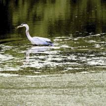 egret fishing 2