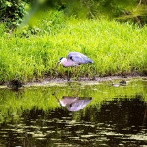 egret fishing 4