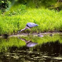 egret fishing 5