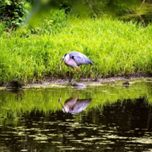 egret fishing 6