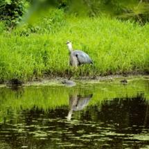 egret fishing 7