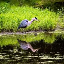 egret fishing 8