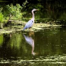 egret fishing 9