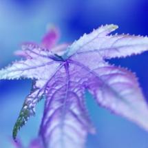 leaf ferrandans in blue