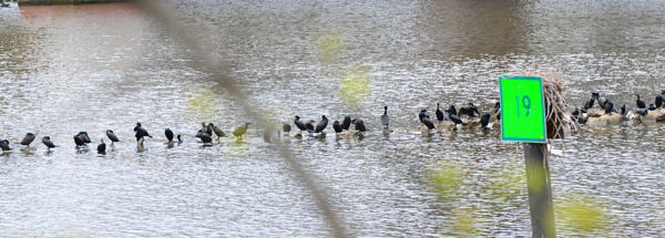 Panorama of Birds In Occoquan River